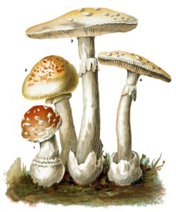 Picture of Poisonous Mushrooms